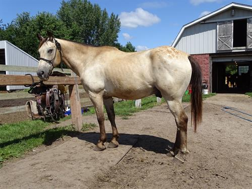 Horse Classified Ad Buckwheat