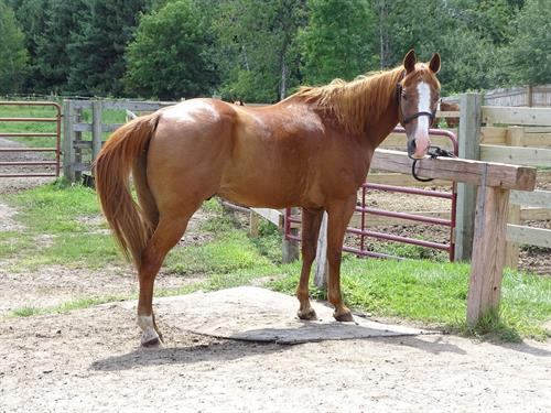 Leinie, Handy Broke Gelding, quick and catty, Barrels or cows