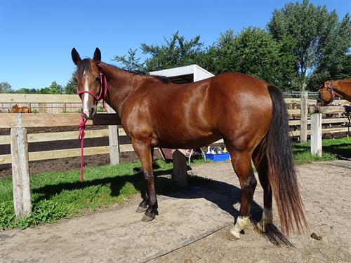 Horse Classified Ad Cassidy